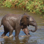 Bathing Elephant Baby