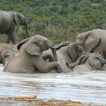 Pictures of Elephants