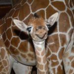 Giraffe baby pictures