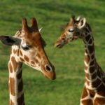 Giraffe babies image