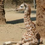 pictures of Giraffe baby