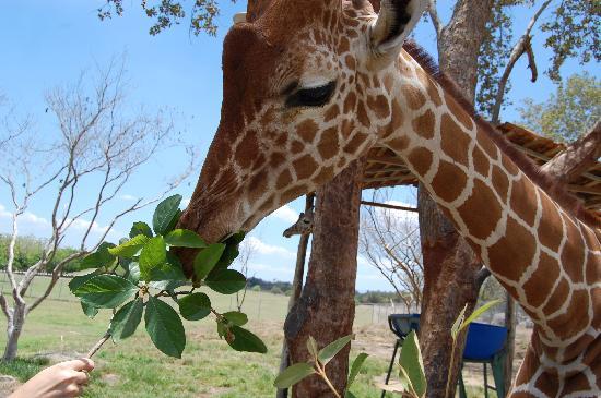 Irafe - Girafe rigolote ...