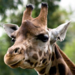 Giraffe face picture