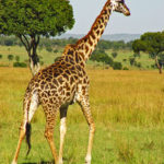 images of Giraffe