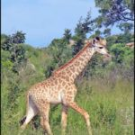 photos of Giraffe