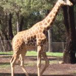 pics of Giraffe