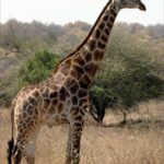 Giraffe's pictures