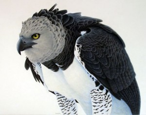 Images of Harpy Eagle