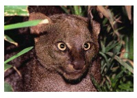 Photos of Jaguarundi