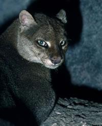 Pictures of Jaguarundi