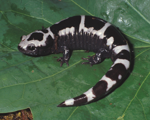 Images of Marbled Salamander