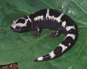 Images of Marbled Salamander