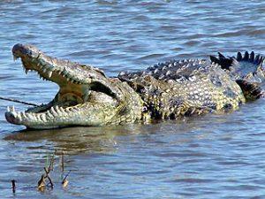 Nile Crocodile Picture