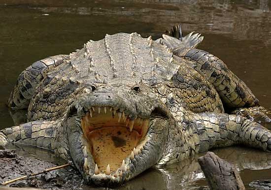 Nile Crocodile Nile Crocodile