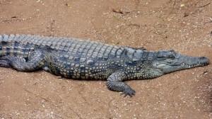 Pictures Nile Crocodile