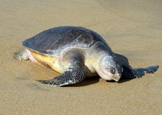 Photos of Olive Ridley Sea Turtle