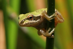 Images of Pacific Tree Frog