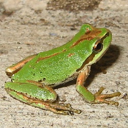 Photos of Pacific Tree Frog