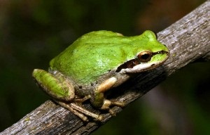 Pacific Tree Frog Image