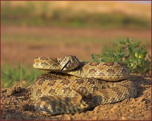 Images of Prairie Rattlesnake