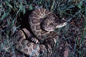 Photos of Prairie Rattlesnake