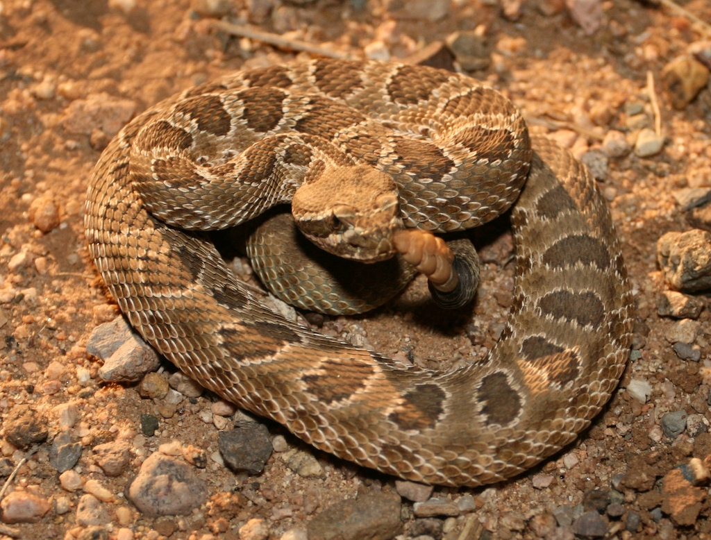 Pictures of Prairie Rattlesnake