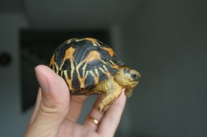 Radiated Tortoise Picture