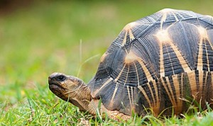 Images Radiated Tortoise