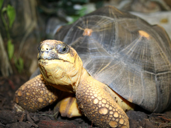 Pictures of Radiated Tortoise