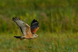 Images of Red-shouldered Hawk