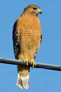 Photos of Red-shouldered Hawk