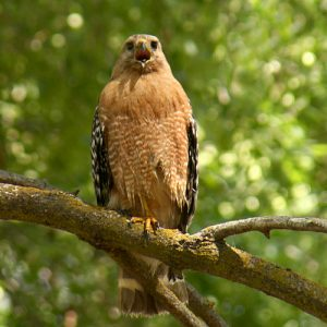 Pictures of Red-shouldered Hawk