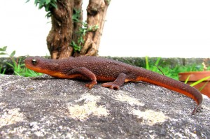 Rough Skinned Newt Picture