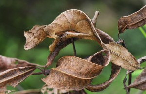 Images of Satanic Leaf Tailed Gecko