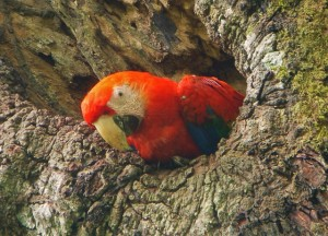 Scarlet Macaw Picture