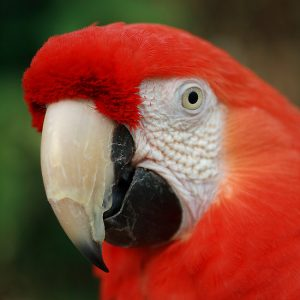 Images of Scarlet Macaw