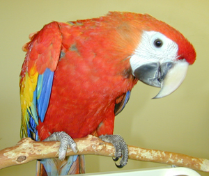 Photos of Scarlet Macaw