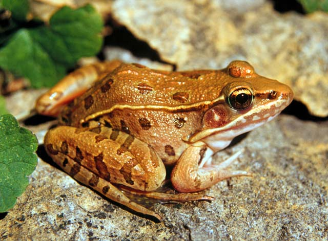 Southern Leopard Frog Picture