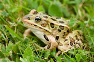 Images of Southern Leopard Frogs