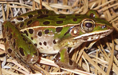 Photos of Southern Leopard Frog