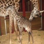 images of baby Giraffe