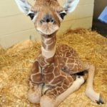 photos of baby Giraffe