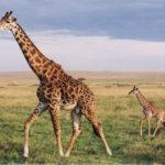 tall giraffe images
