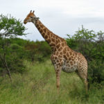 pictures of tall Giraffe