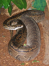 Images of African Rock Python