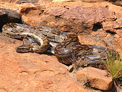 Photos of African Rock Python