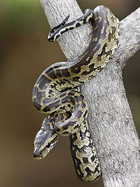 Pictures of African Rock Python