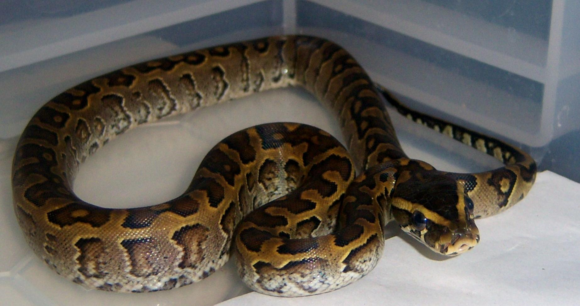 African Rock Python Picture