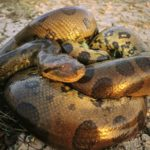 Photos of Anaconda