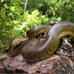 Pictures of Anaconda